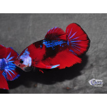 Betta Plakat Koï Galaxy 4-5
