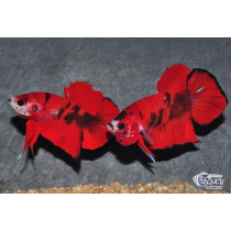 Betta Plakat Red Tiger (Red Koï)  4-5 TOP