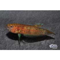 Betta sp. pallifina Candy  6cm (incub.buccal)