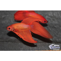 Betta splendens Orange  5-6