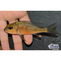 Callochromis macrops Ndole Red 7-9