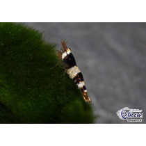 Caridina Crystal Black (Tiger Tooth) 1-1.5