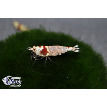 Caridina Crystal Red Gr.SS  1-1.5