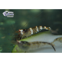 Caridina sp. Galaxy Blue Bee 1.5-2 NOUVEAU