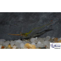 Caridina gracilirostris Red Pinokio 3-4