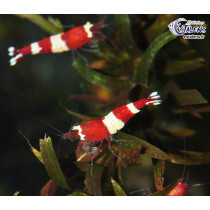 Caridina TaiwanBee Red Wine 1.5-2