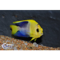 Centropyge bicolor Yellow Head  3-4