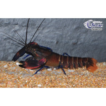 Cherax boesemani Red Brick XL