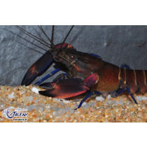 Cherax boesemani Red Brick L/XL
