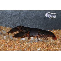 Cherax snowden Black Scorpion  L/XL