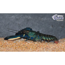 Cherax sp. Blue Moon  9-11