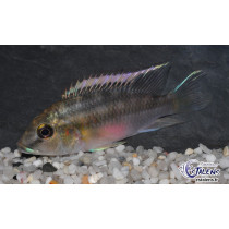 Chromidotilapia guntheri  4-5 F1 (Estalens)