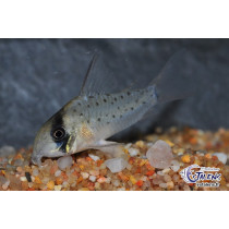 Corydoras atropersonatus 3.5-4