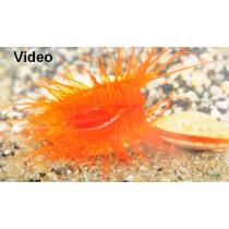 Ctenoides ales (Disco Clam) SUPERBE