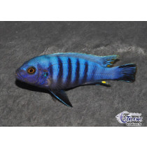 Cynotilapia pulpican  7-9 (Male)