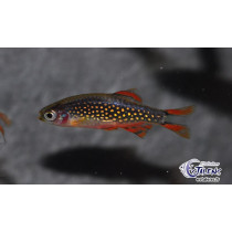 Celestichthys margaritatus(Galaxy) 2-2.5 XL SUPER