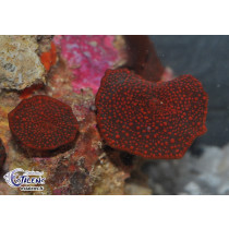 Discosoma punctatus points Rouges