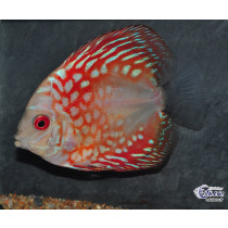 Discus Pigeon Red  6-7