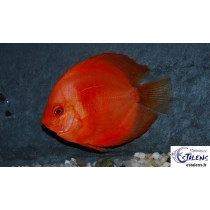 Discus  Red Malboro  5cm SUPER PRIX