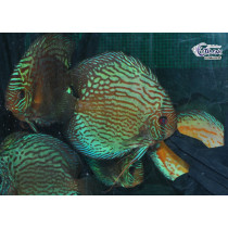 Discus Select.Assortis 14-16+ XL (France)