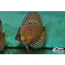 Discus Turquoise Rouge  6-7