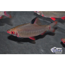Distichodus sp. Red/Black Lefini 7-9 NOUVEAU