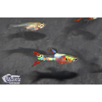 Guppy Endleri Multicolor (mâle) 2-2.5