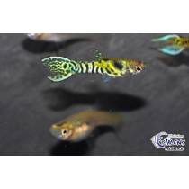 Guppy Endleri Tiger (en cple) 2-2.5 (Estalens)