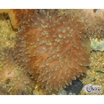 Entacmaea quadricolor (Bulle) Base Rouge M