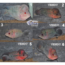 Flowerhorn Grade A  SUPER WYSIWYG 11-13(sur photo)