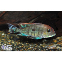 Geophagus sp. Tapajos Red Head  5-7
