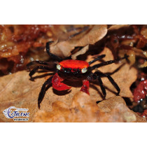 Geosesarma hagen  Red Devil  SUPERBE