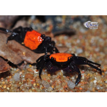 Geosesarma sp. Orange Black Leg NOUVEAU (mâles)