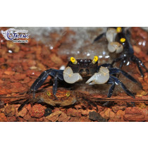 Geosesarma sp. Yellow Eyes NOUVEAU