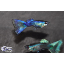 Guppy Full Bleu Neon 3.5-4 (en couple)