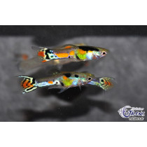 Guppy Endleri Cobra Multicolor 2-2.5 (en cple)