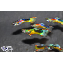 Guppy Endleri Gold/Black (fem) 2-3