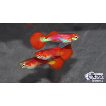 Guppy Flamingo Red 4-4.5 XL (sri)