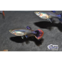 Guppy Femelle Platinium Purple 4-5 (sri)