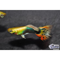 Guppy Golden Sunray 3-3.5 (sri)