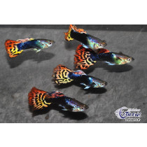 Guppy Leopard Rouge  3-3.5 (sri)