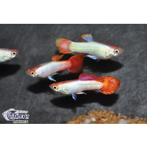 Guppy Platinium Rouge  3-3.5 (sri)