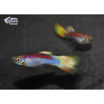 Guppy Ananas Laser Rouge  3-3.5 (sri)