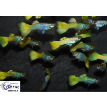 Guppy Metallic Ananas  4-4.5