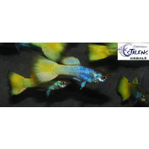 Guppy Metallic Ananas  3.5-4 (sri)