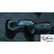 Guppy Cobra Bleu  3-3.5 (sri)