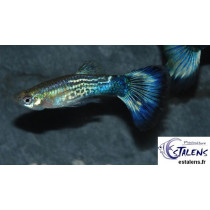 Guppy Cobra Bleu  3.5-4 (sri)