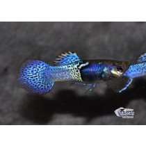 Guppy Cobra Mosaic Bleu  3-3.5 (sri)