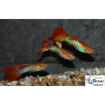 Guppy Cobra Orange  3.5-4 (sri)