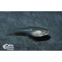 Guppy Endleri  3-3.5 (fem) (Estalens)